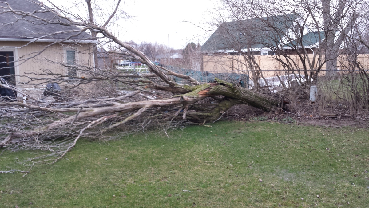 The Fall of the CorkscrewWillow
